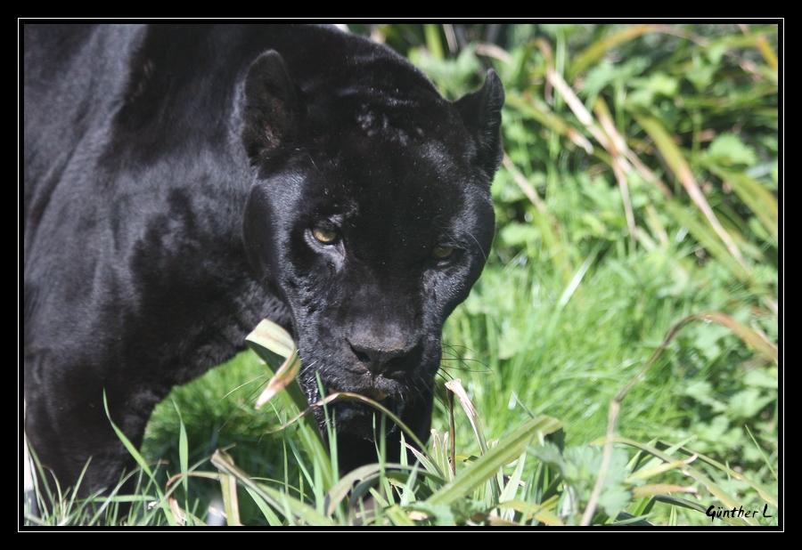 Schwarzer Jaguar