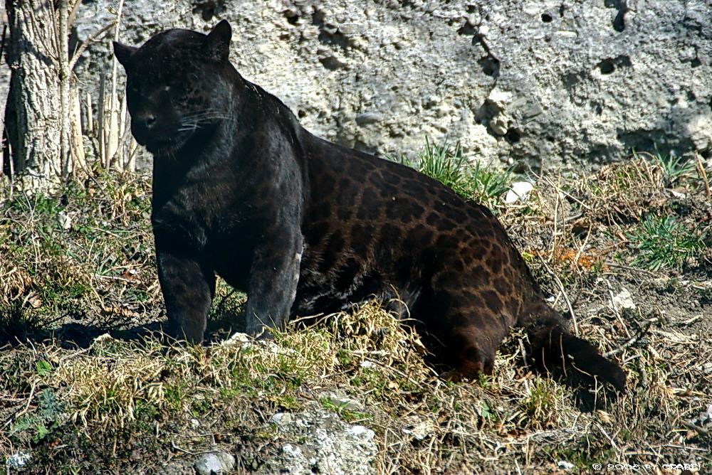 schwarzer jaguar foto bild tiere zoo wildpark. Black Bedroom Furniture Sets. Home Design Ideas