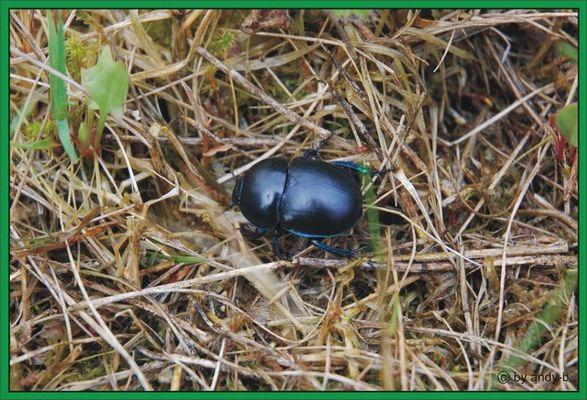 ... schwarzer käfer ...