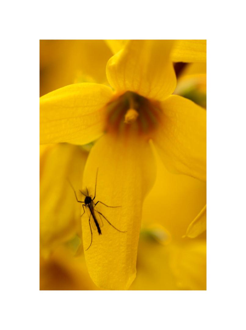 Schwarzer Käfer auf gelber Blume
