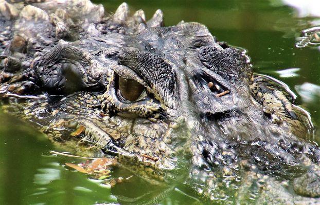 Schwarzer Kaiman (Melanosuchus niger), Macouria/Frz.-Guyana 05.11.2016