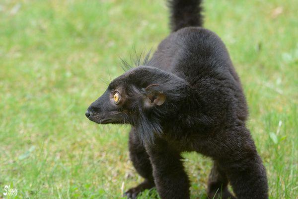 Schwarzer Katta?