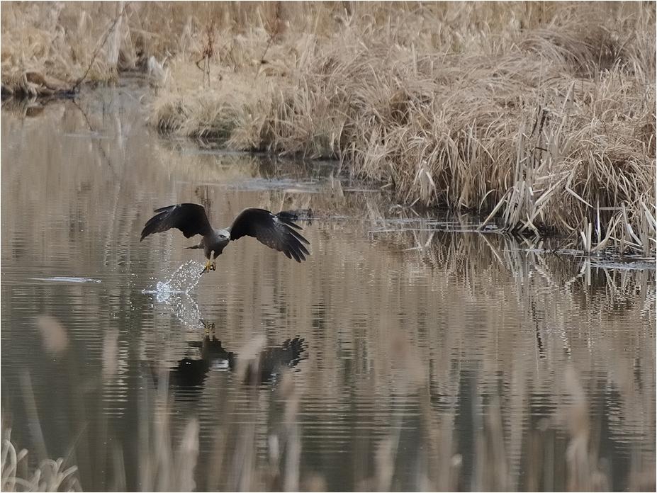 Schwarzer Milan (Milvus migrans)