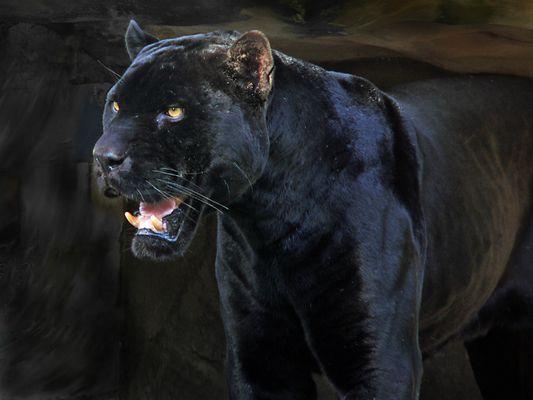 Schwarzer Panther (2)