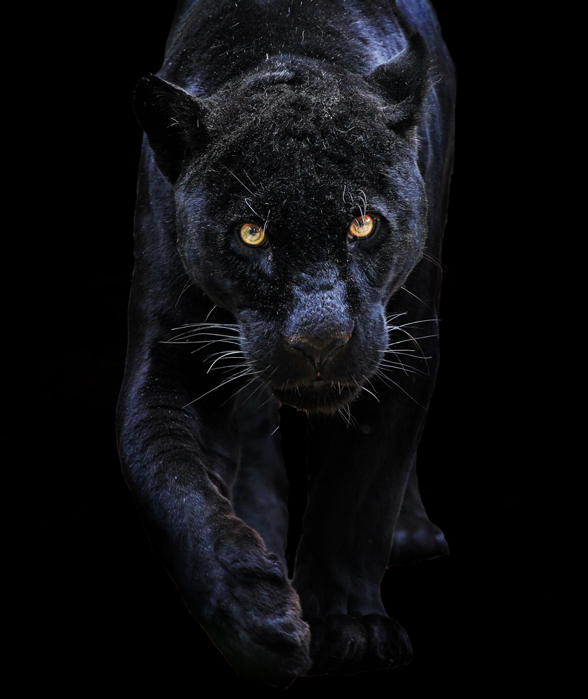 schwarzer panther foto bild tiere zoo wildpark. Black Bedroom Furniture Sets. Home Design Ideas