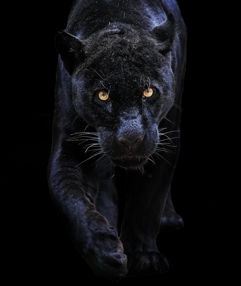 Black jaguar animal wallpaper hd animal kid black jaguar animal wallpaper hd voltagebd Images