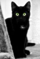 schwarzer panther * black panther * panthère noire