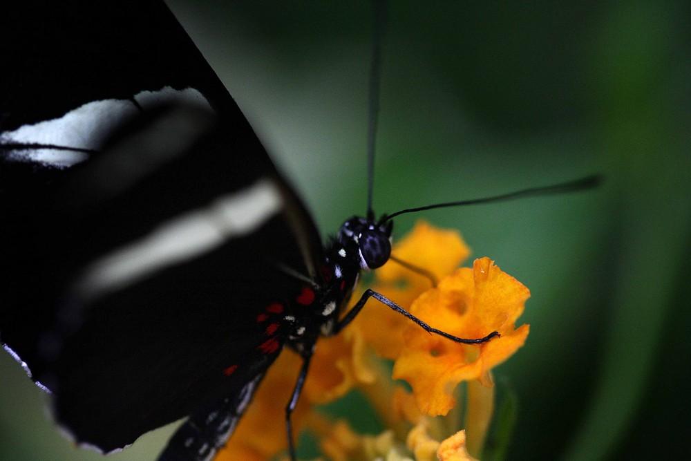 Schwarzer Schmetterling auf gelber Blüte
