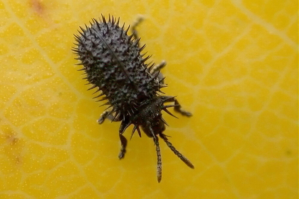 Schwarzer Stachelkäfer