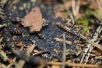 Schwarzer Wasserspringschwanz