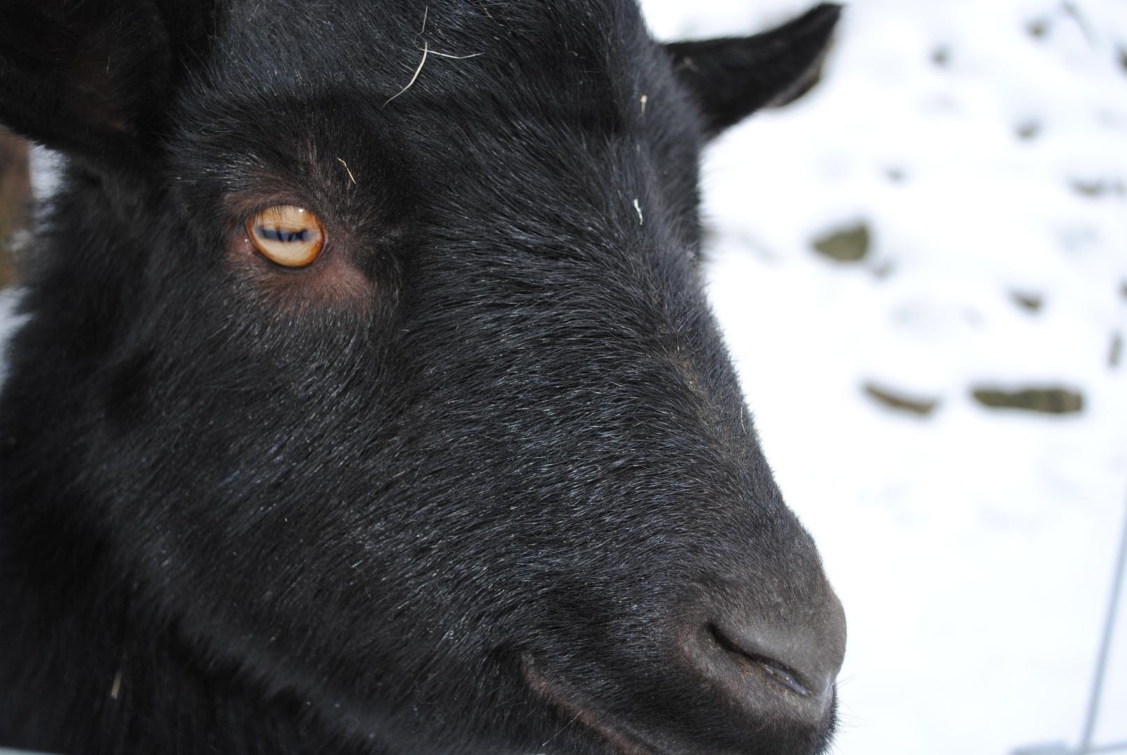 Schwarzer Ziegenbcok