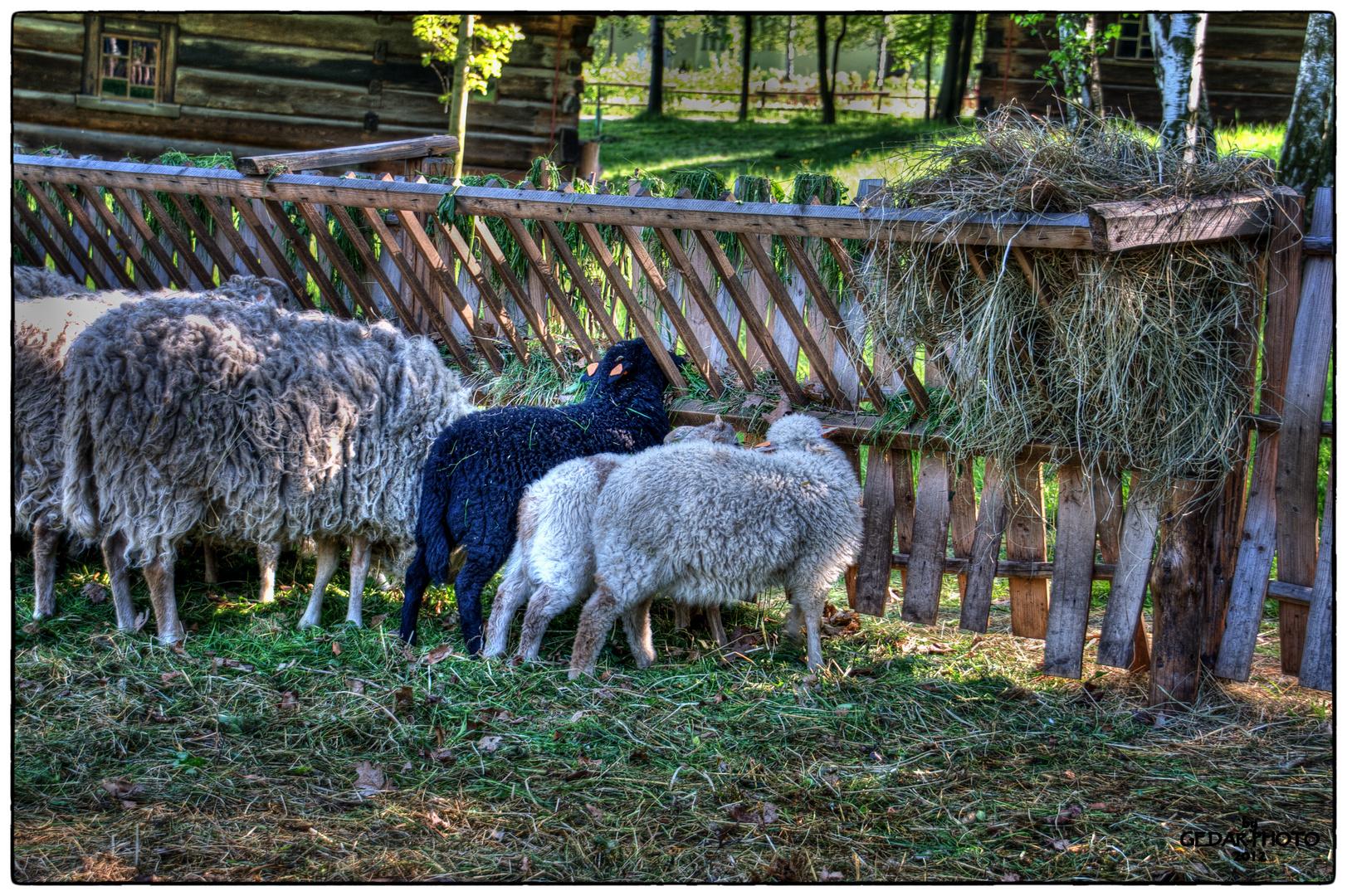 Schwarzes Schaf .........