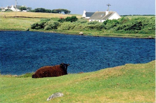 Schwarzes Schaf auf South Uist