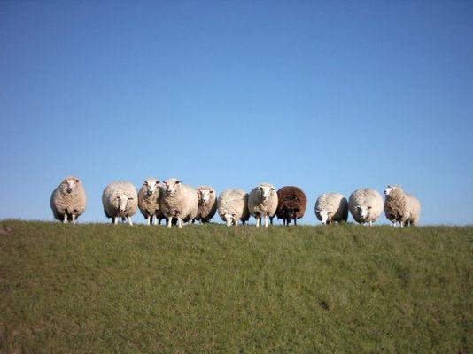 ...schwarzes Schaf....