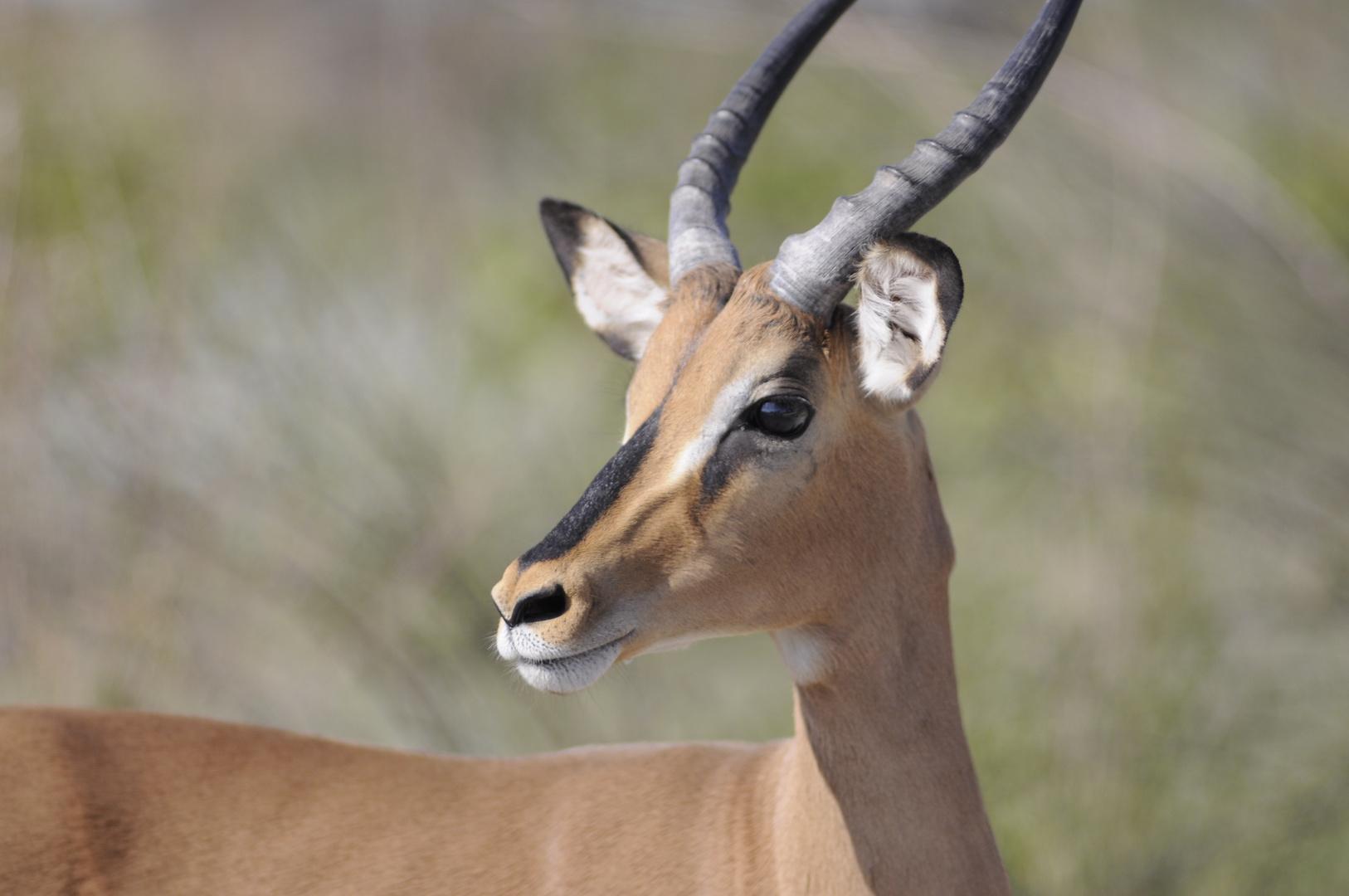 Schwarzgesicht Impala