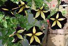 schwarz/gold petunie