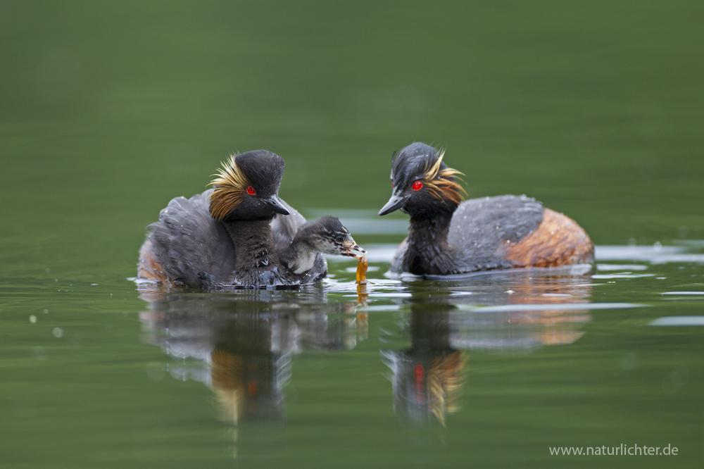 Schwarzhalstaucher, Fütterung eines Jungvogels