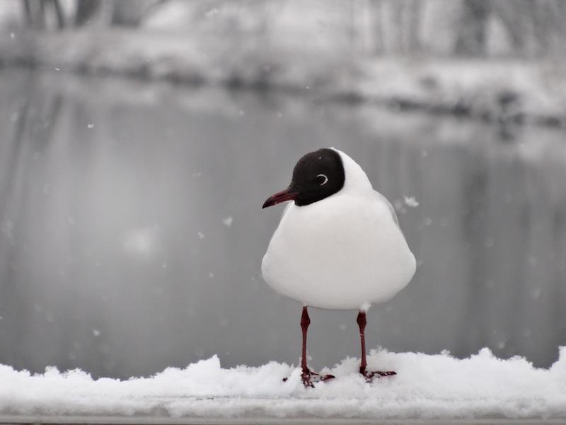 Schwarzkopfmöwe im Winter
