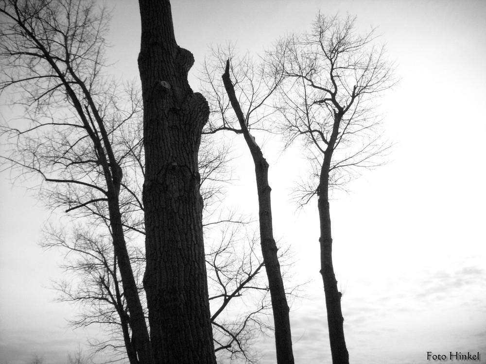 Schwarzpappel (Populus nigra)