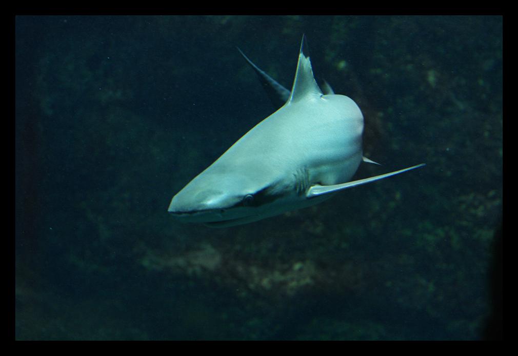 Schwarzspitzenriffhai..