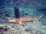 Schwarzspitzenriffhai - Malediven