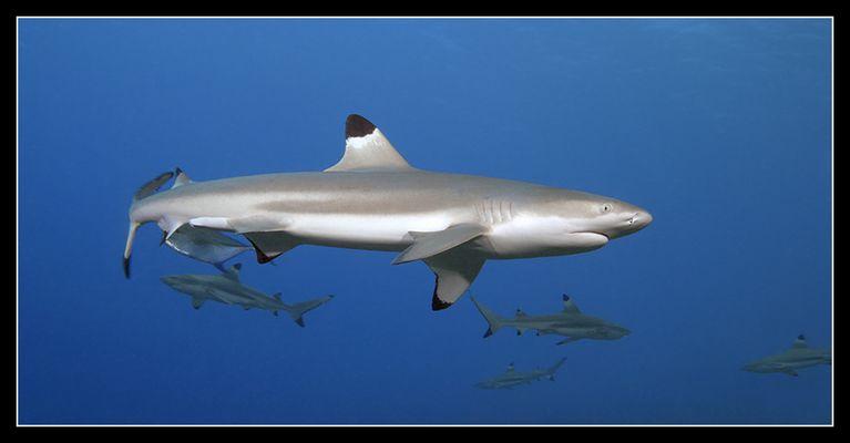 Schwarzspitzenriffhai (Südsee / franz. Polynesien)