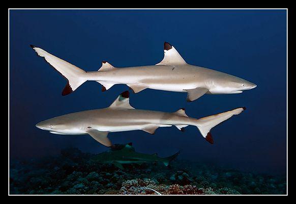 Schwarzspitzenriffhaie (Südsee / franz. Polynesien)