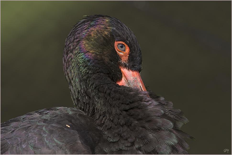 Schwarzstorch - Cigüeña negra