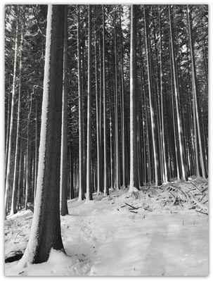 Schwarzweiß - Fichtenwald nach dem Sturm