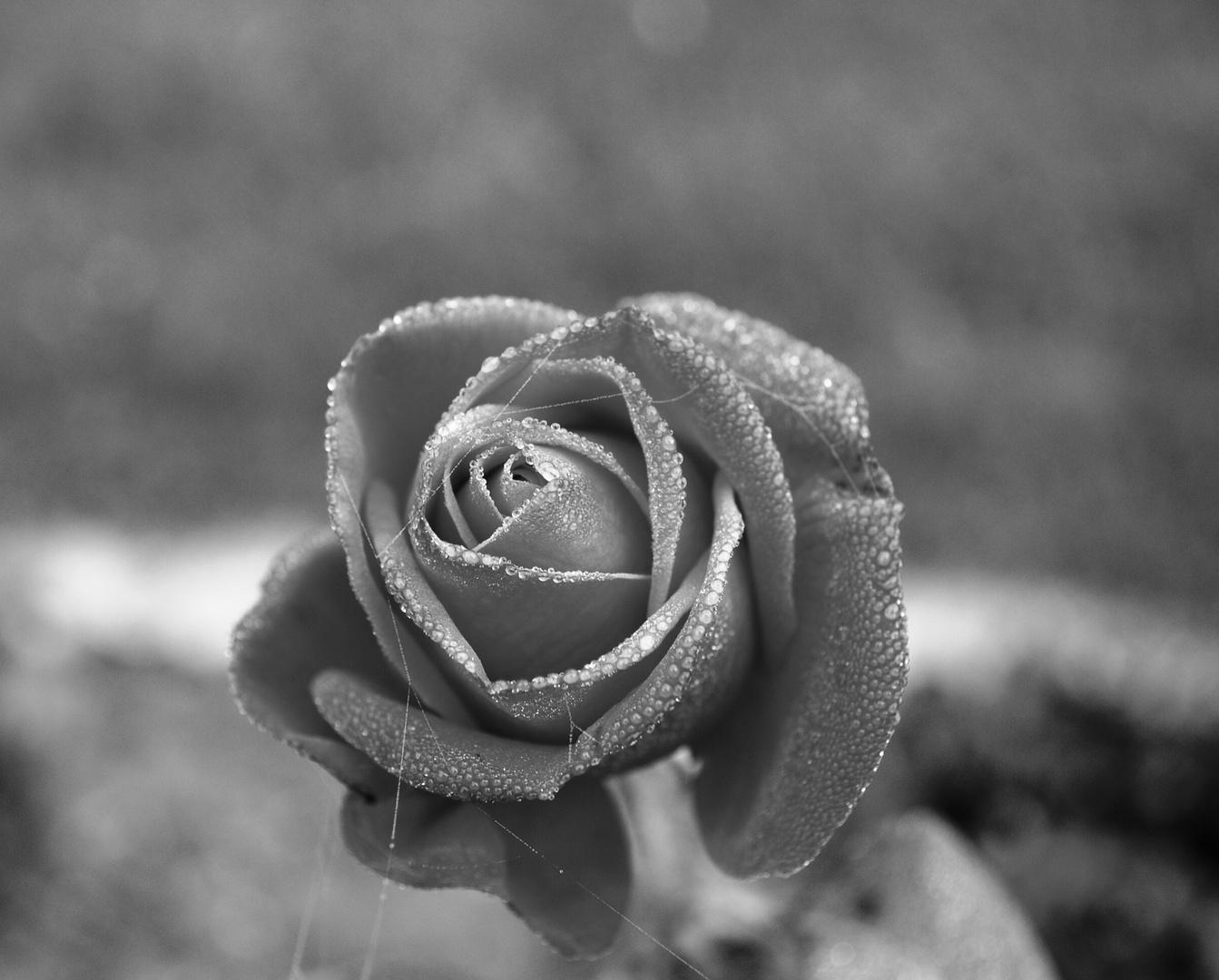 schwarzweiß rose
