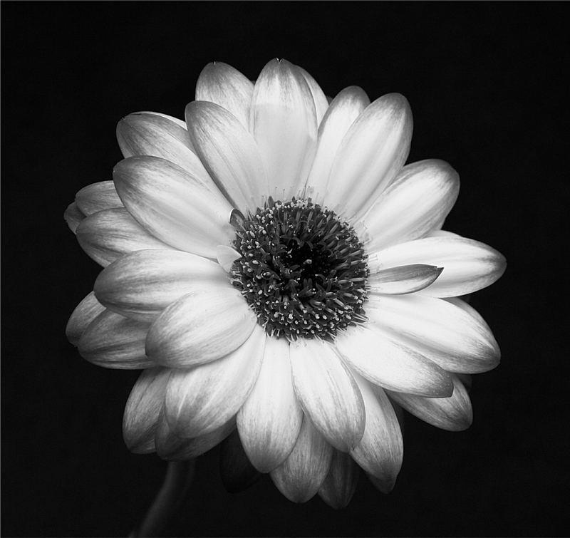 Blumenbilder Schwarz Weiß schwarz weiß blume foto bild pflanzen pilze flechten natur