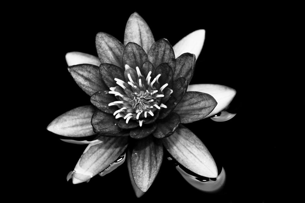 SchwarzWeiße Lotus...