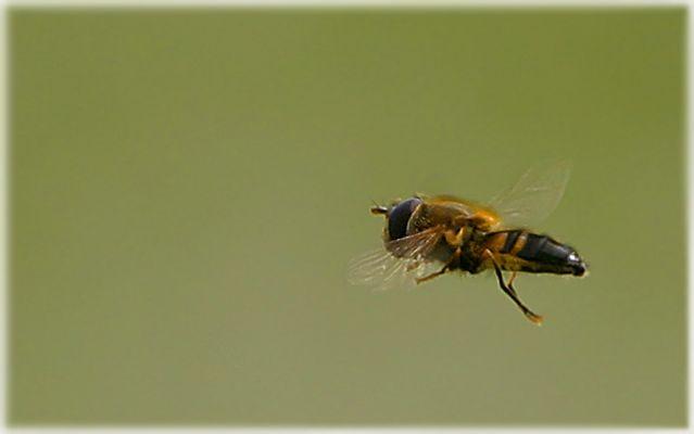 SCHWEBE Fliege