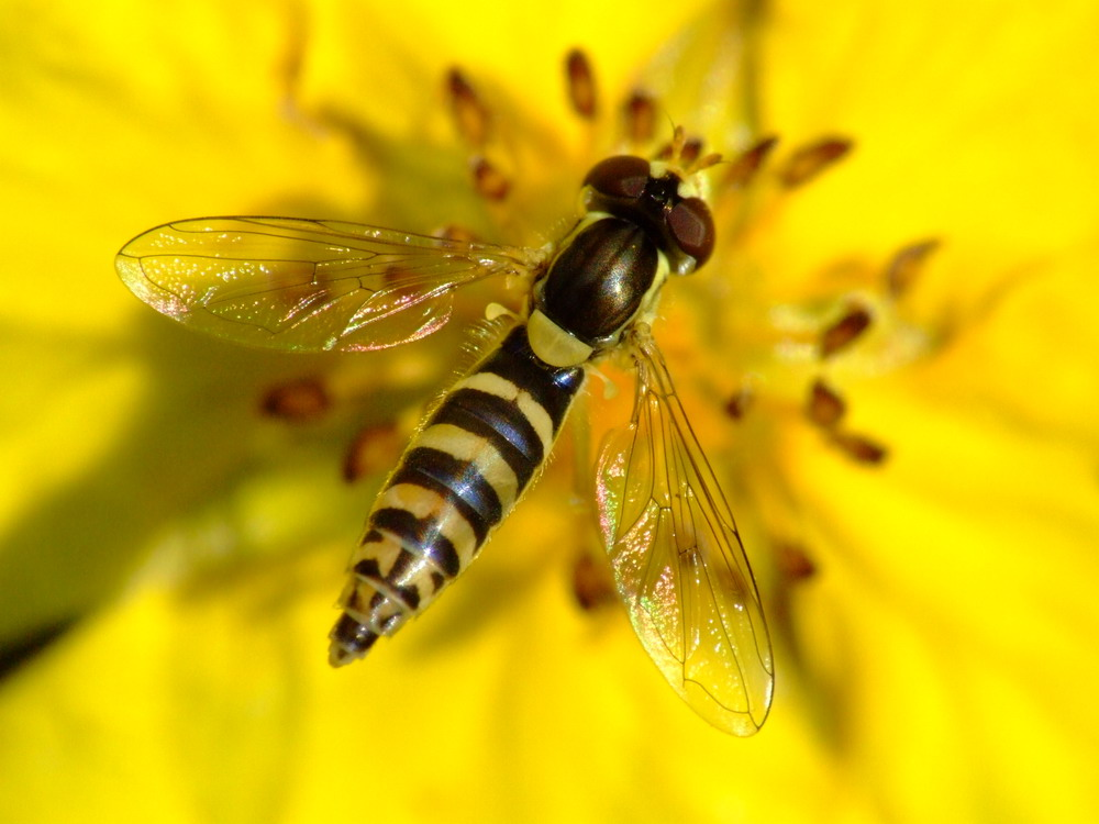 Schwebefliege auf Blume