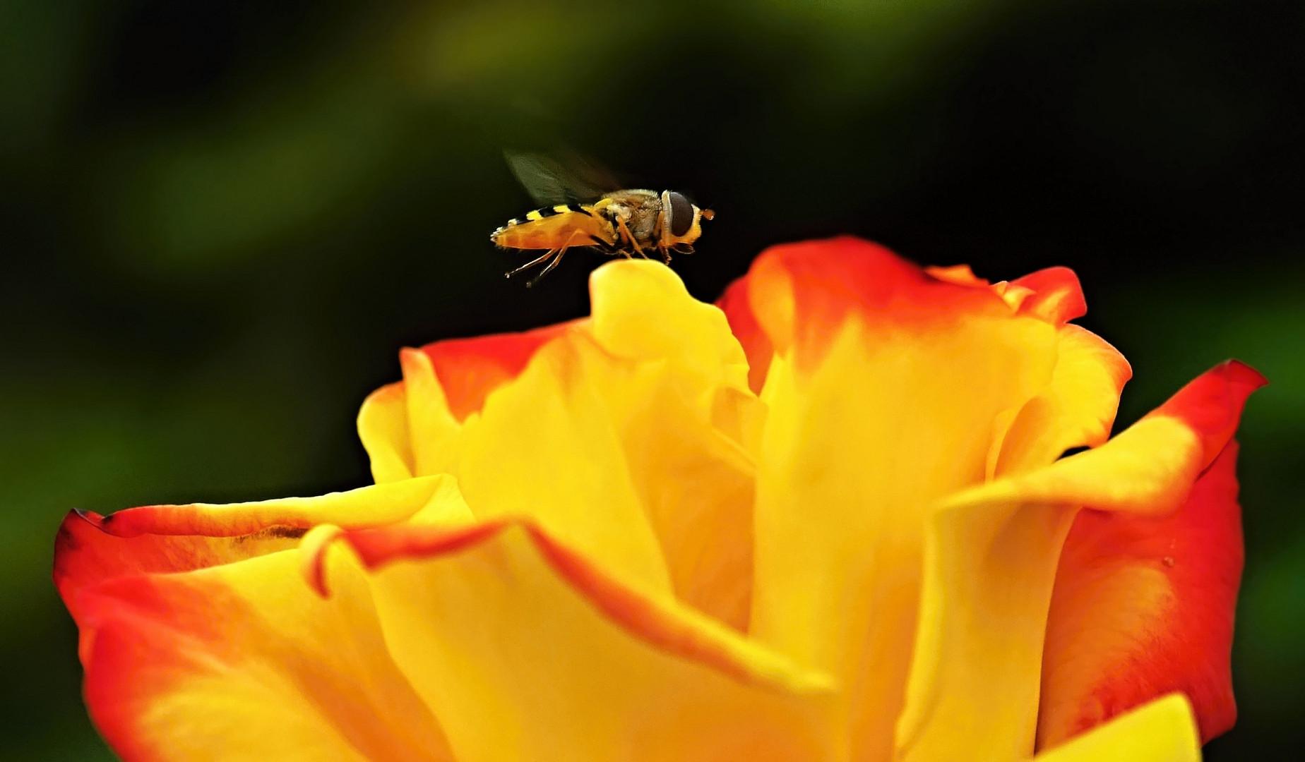 Schwebefliege auf Rose