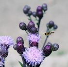 Schwebefliege besucht eine Blume