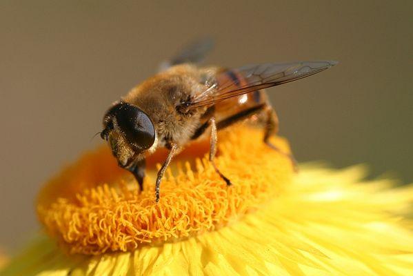 Schwebefliege (Mistbiene) auf Strohblume