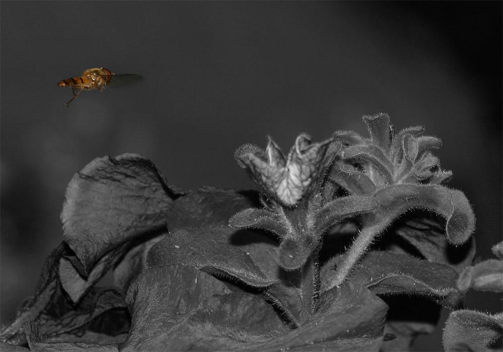Schwebefliege01 im Anflug auf Flowertown