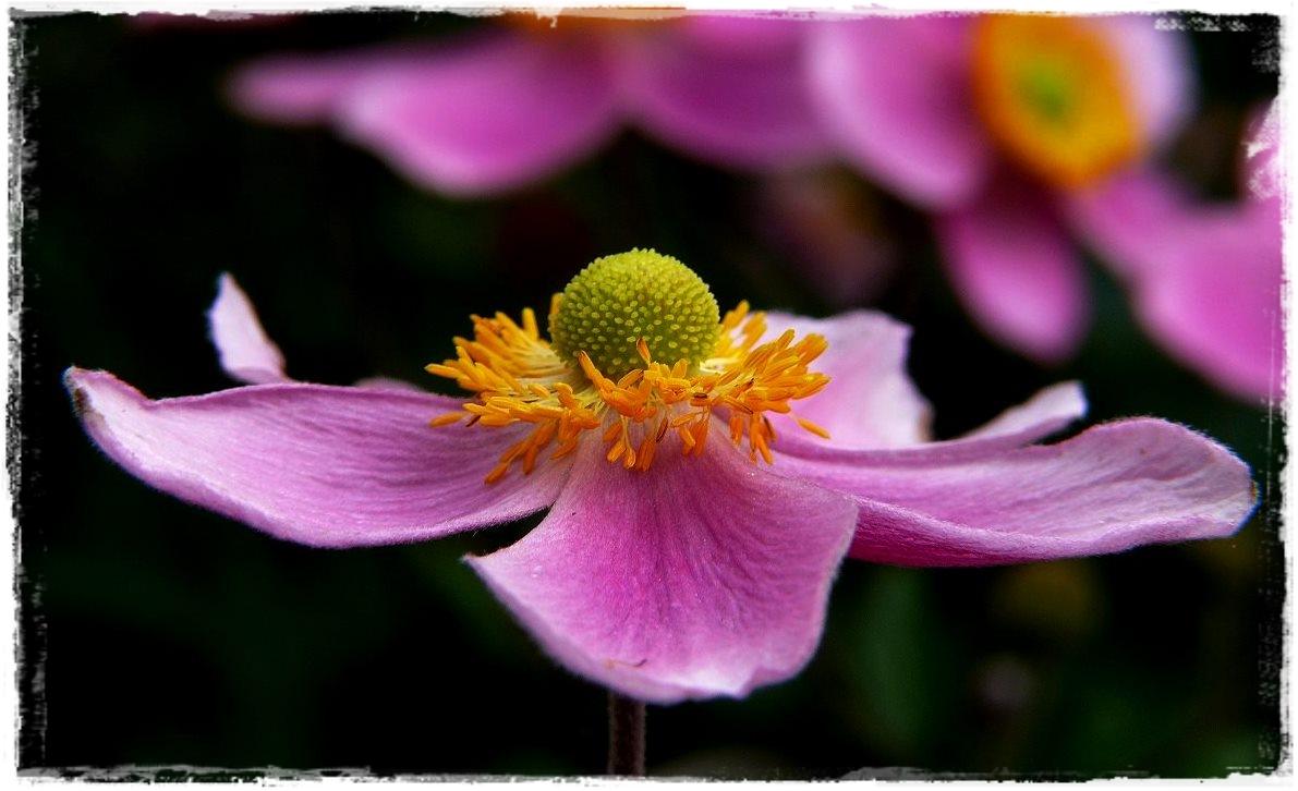 schwebende Anemone..