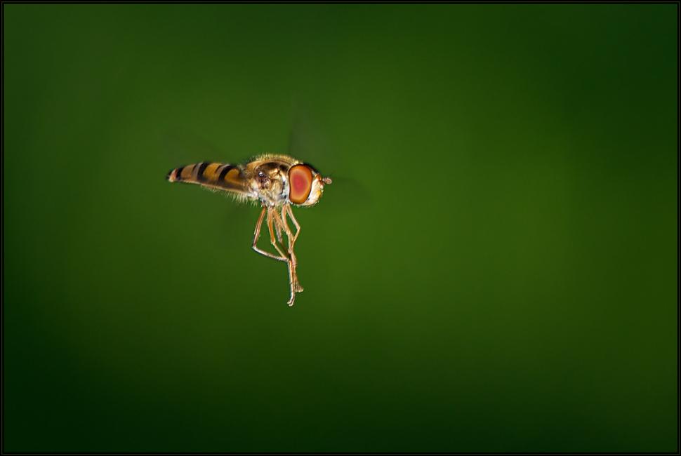 Schwebende Fliege