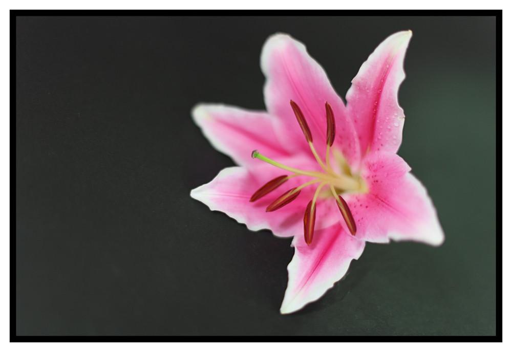 schwebende Lilie