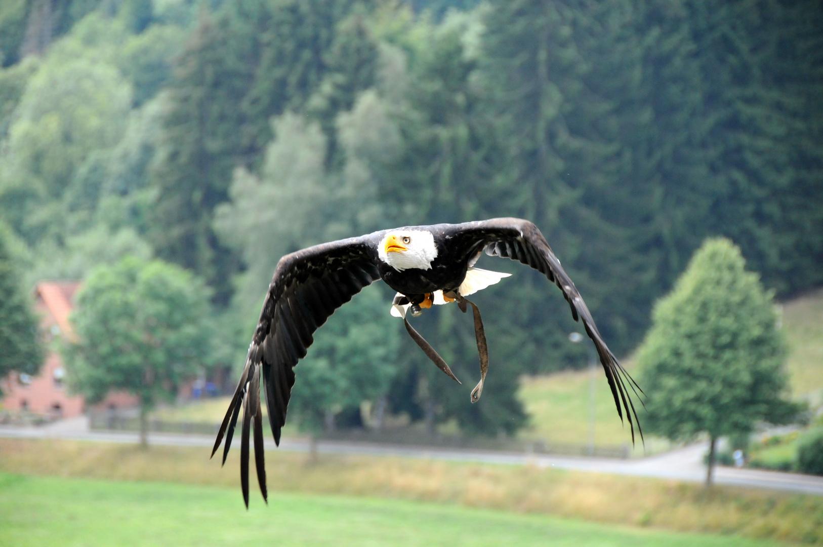 schwebender Adler