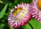 Schwebewespe auf Blüte