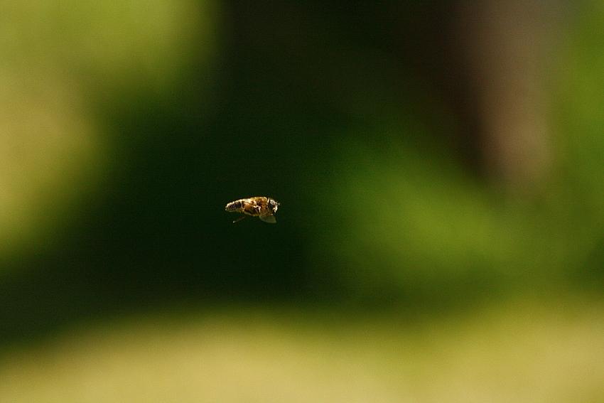 Schwebfliege