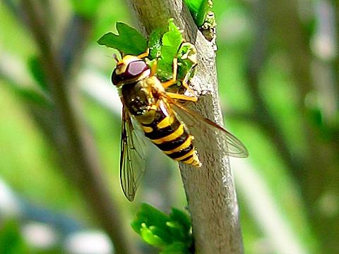 Schwebfliege als Wespe getarnt:-)