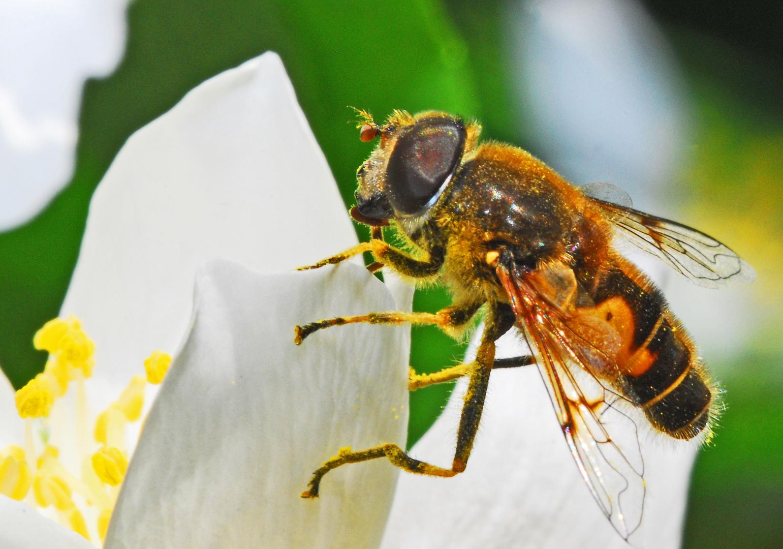 Schwebfliege an einer Jasminblüte