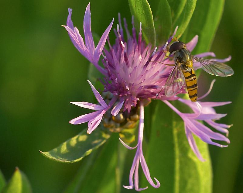 Schwebfliege auf Blüte...