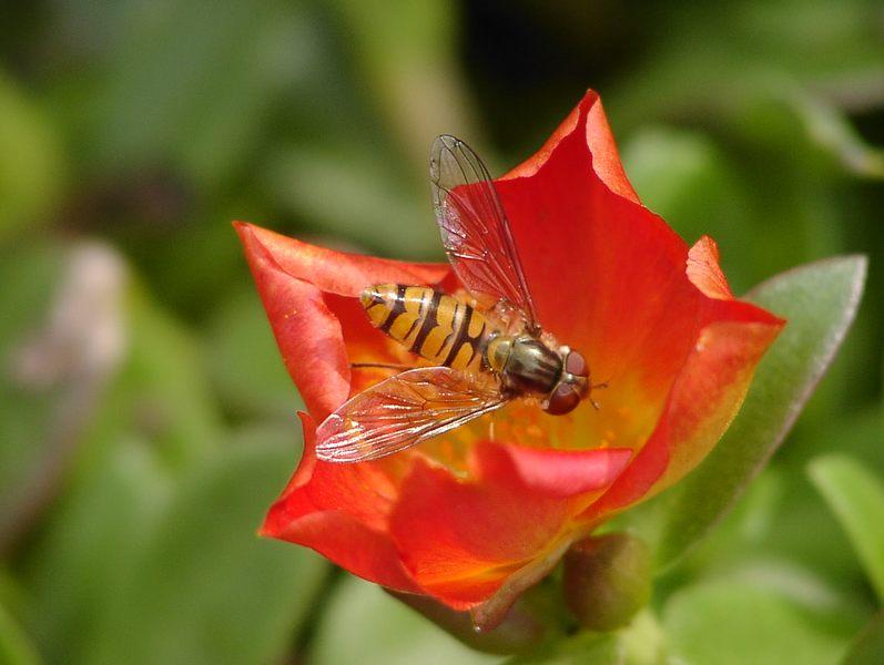 Schwebfliege auf Blüte der Mittagsblume