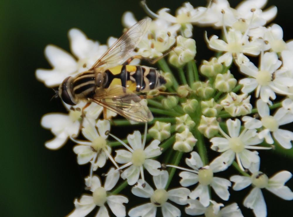 Schwebfliege auf Blume