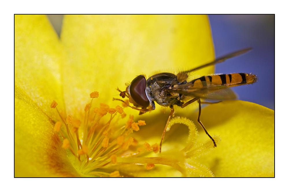 Schwebfliege auf einem gelben Portulakröschen